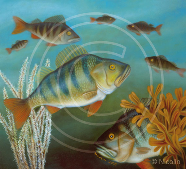 Perch marine facts art decoration nordic fish for Perch fish facts