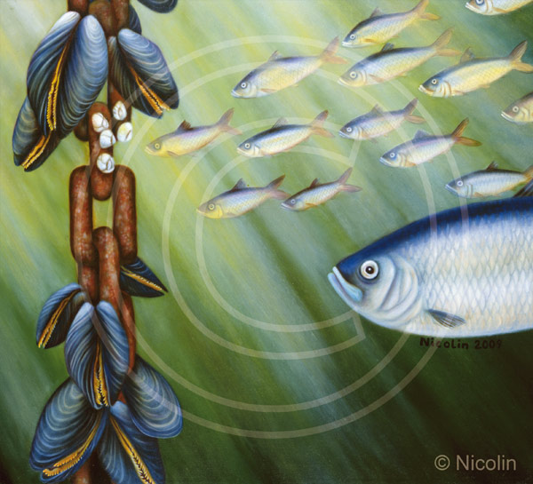 Herring marine facts art decoration nordic fish for Oily fish representative species