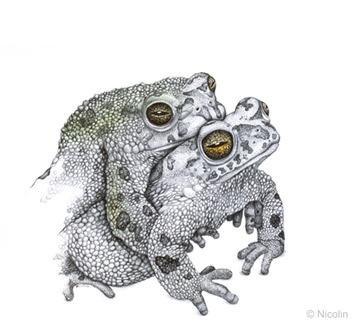 Natterjack Toad Drawing Frog Art Nordic Endangered Species